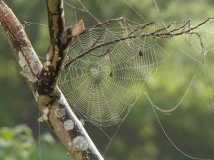 Spider Web in Tree