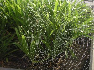 Spider Web Covered with Dew in the Morning